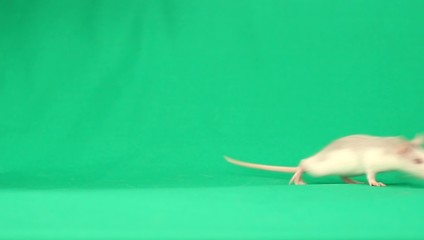 funny rat walks on a green screen