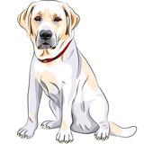 vector sketch yellow dog breed Labrador Retriever sitting