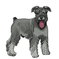 vector Miniature Schnauzer dog with his tongue hanging out
