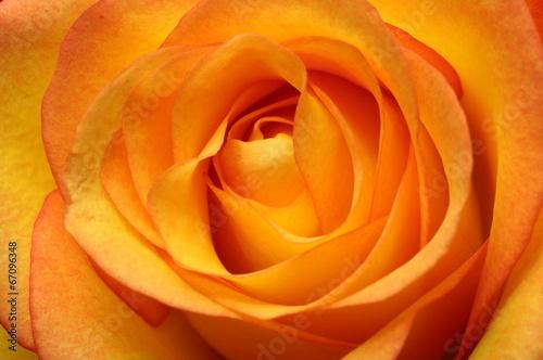 pomaranczowy-kwiat-rozy