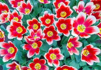 Group with red or white tulips