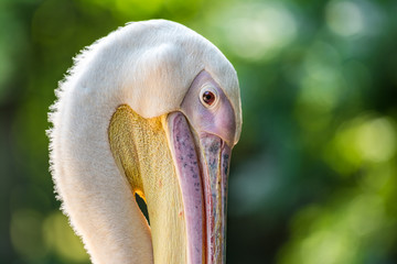 Wild Pelican Portrait In The Danube Delta