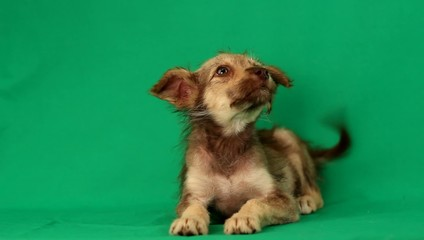 funny puppy mutts lies on a green screen