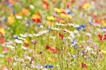 Kamille in einer hellen warmen Sommerwiese
