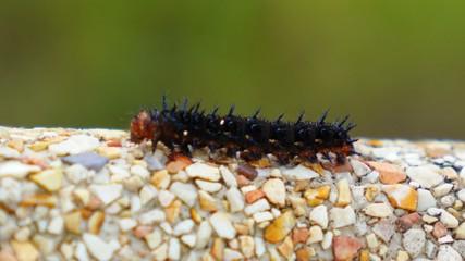 Colorful Caterpillar Creeping Slowly. Insect. Macro. Close up.