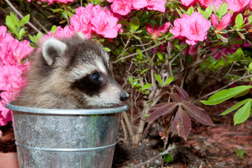 Raccoon trying to hide