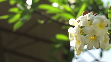 Plumeria, Pagoda Tree Dolly Shot