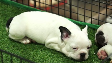 French bulldog pups sleeping inside a cage on display for sale