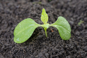 young green sprout growing up soil