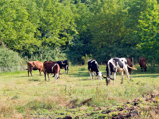 Dairy cows grazing in pasture. Rural scene.