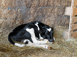 Newborn Friesian calf - less than a day old.