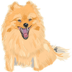 vector color sketch of the dog German Toy Pomeranian breed smile