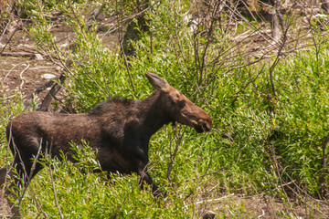 Moose Running in the Thicket