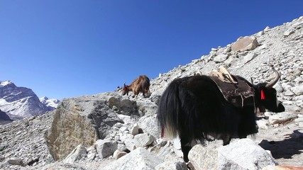 Yak caravan in Everest region, Nepal