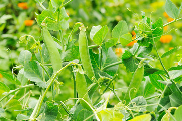bush of peas growing