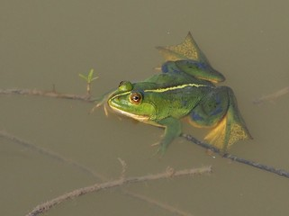Exotic green flog in a pond, from The Sunderbans, India