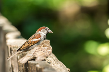 Two Sparrows Sitting On A Wooden Fence