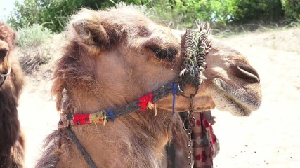 camel in harness