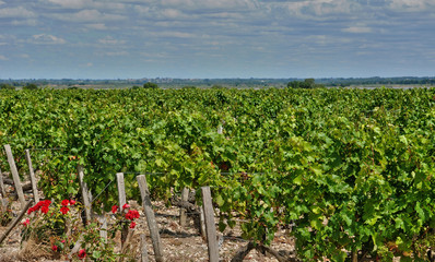 vineyard of Saint Julien Beychevelle in Gironde
