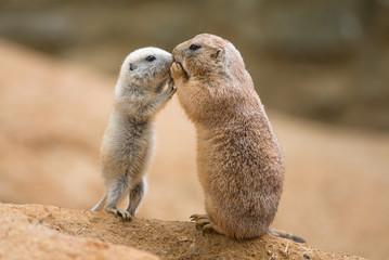 Adult prairie dog (genus cynomys)  and a baby  sharing their foo