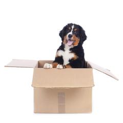 Berner Sennenhund Welpe isoliert
