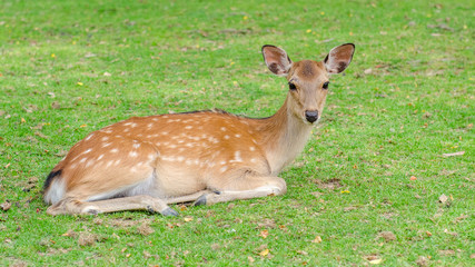 Wild deer roaming freely in Nara park