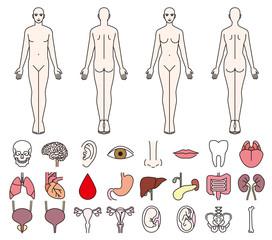 男女の人体と内臓