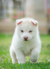 Cute blue eyes puppy