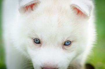 Close up on blue eyes of puppy