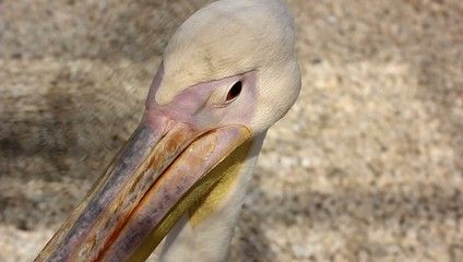 Pelican looking around