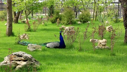 peacock in beautiful garden
