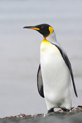 King Penguin (Aptenodytes patagonicus) standing on the beach