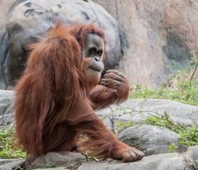 Orangutan Peeking at Crowd