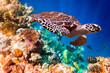 Hawksbill Turtle - Eretmochelys imbricata - 67120595
