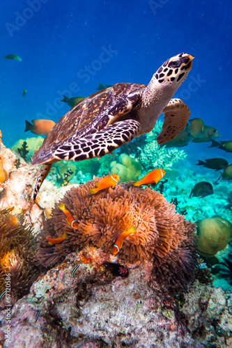 Tuinposter Schildpad Hawksbill Turtle - Eretmochelys imbricata
