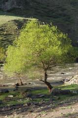 spring tree near river, Mtkvari River, Samtskhe, Georgia
