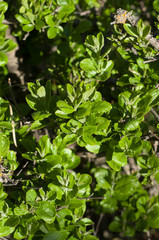 spring leaves on a bush closeup