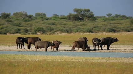Herd of African or Cape buffaloes gathered at a waterhole
