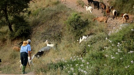 Goatherd Goes Uphill with his Goats