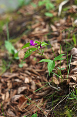 purple flowers of spring vetchling (Lathyrus vernus)