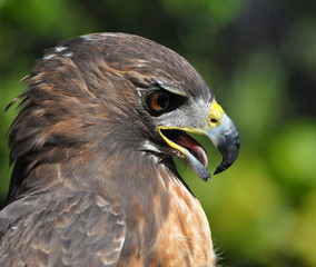 Portrait of a Red Tail Hawk in profile