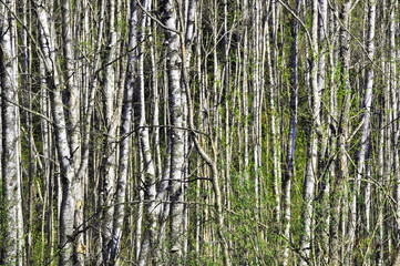 Dense forest of birch wood in the spring time