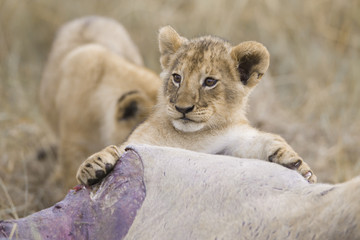 Lion cub playing