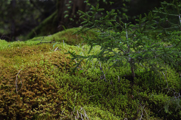 small fir and moss in a forest close-up