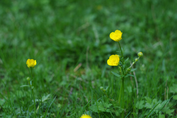 buttercups on a field close-up
