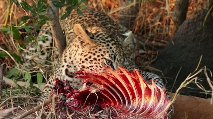 A leopard feeding on its prey, Sabie-Sand nature reserve