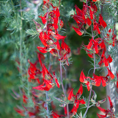 Beautiful spike of vivid red flowers