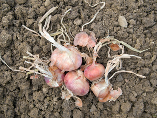 Freshy harvested red onions in garden