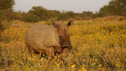 White rhinoceros and calf standing among yellow flowers