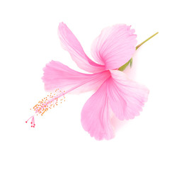 delicate pink hibiscus flower is isolated on white background